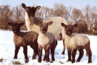 Cambridge Sheep