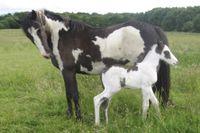 American Paint Horse (2) 15x10