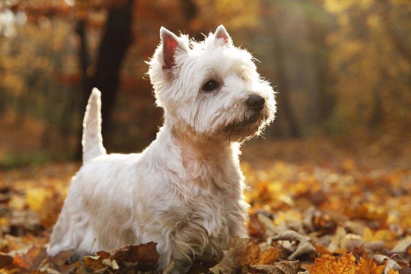 West Highland Terrier (Shutterstock)