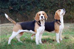 Beagle (Merrilyn Beagles)