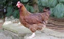 Brown Sussex pullet