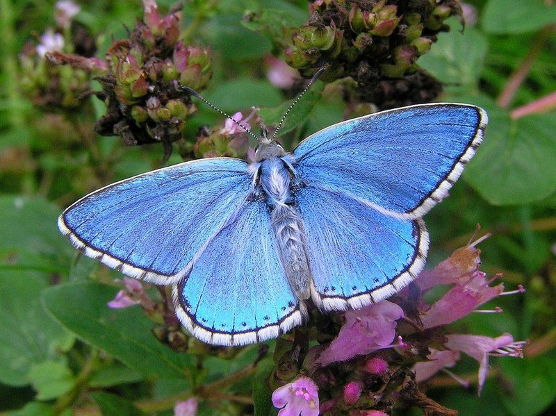 Adonis blue (Nick Greatorex-Davies)