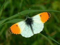 Orange tip (Nick Greatorex Davies)