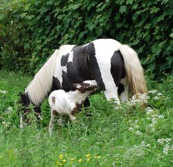 Absolutely Appleby mare and foal